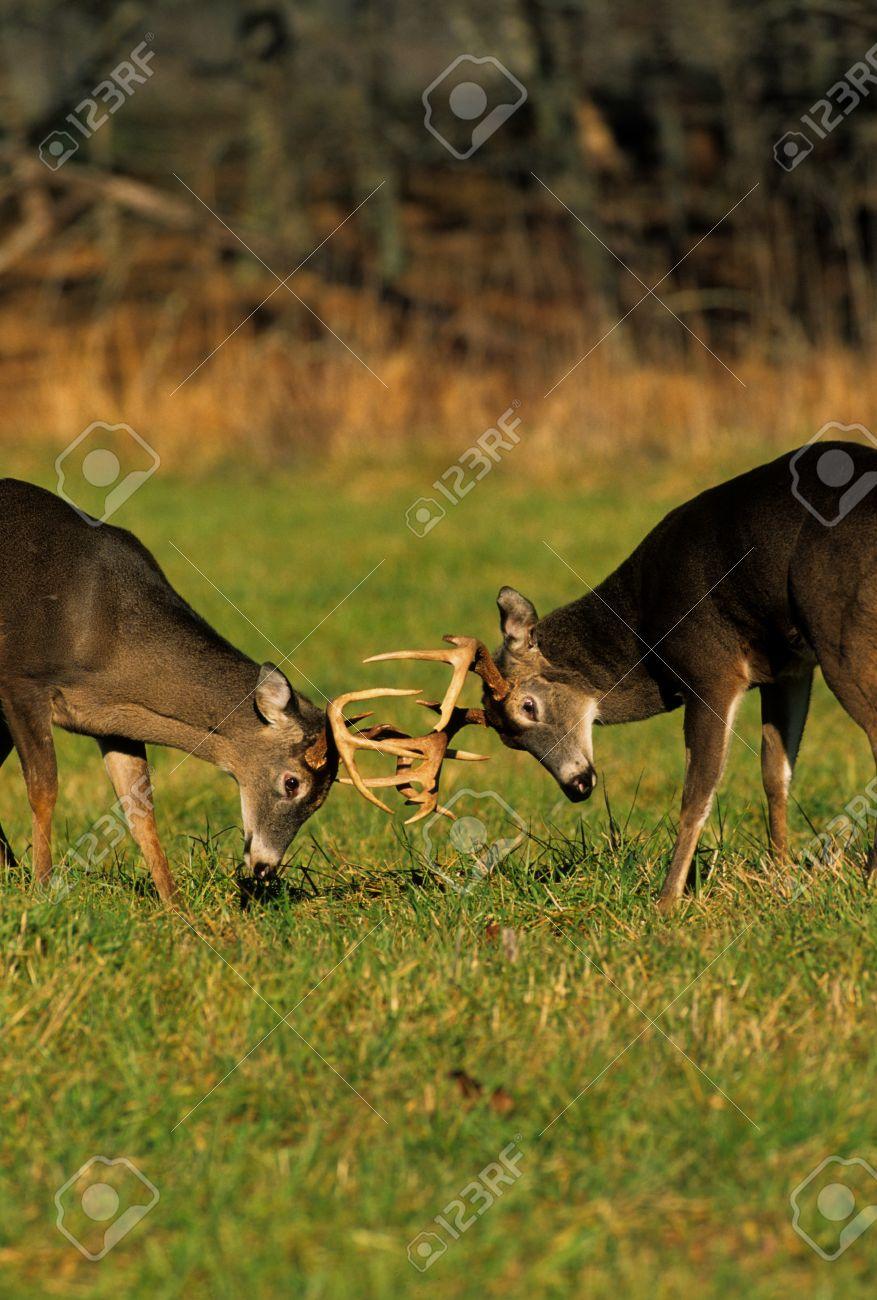 Whitetail Bucks Fighting - 8883573
