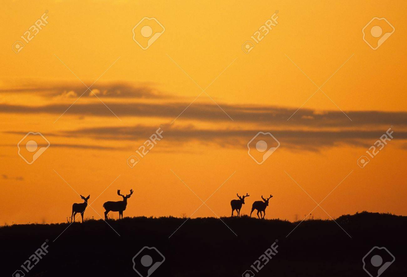 Silhouetted Mule Deer bucks - 8883541