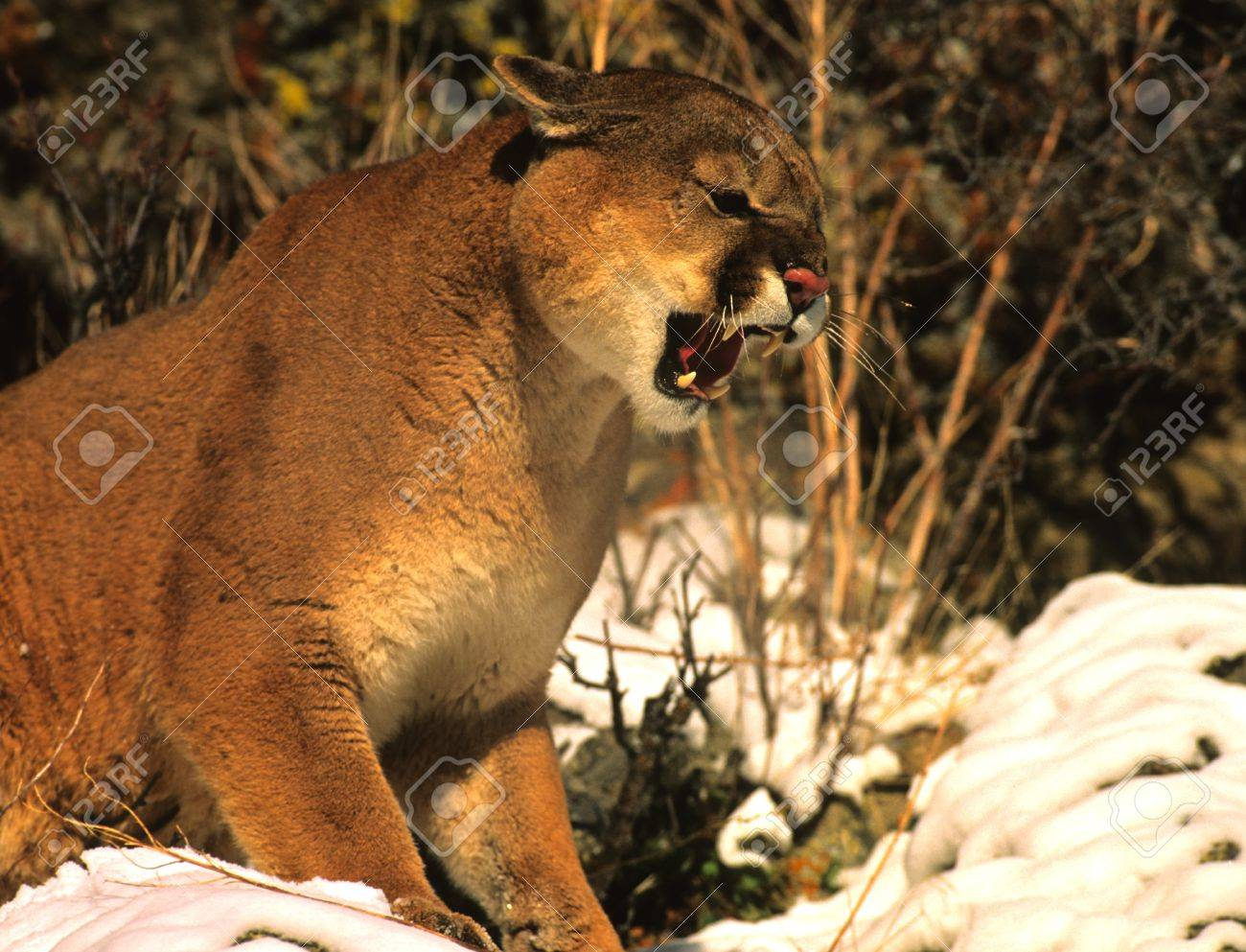 Mountain Lion Snarling - 8883622