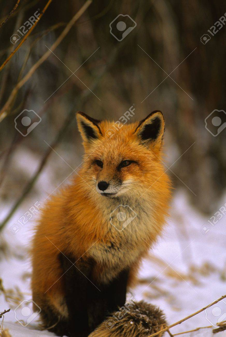 Red Fox in Snow - 8883633
