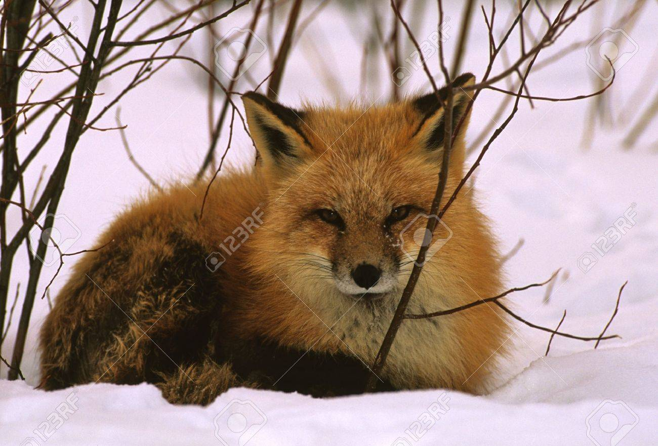 Red Fox Bedded in Snow - 8883644