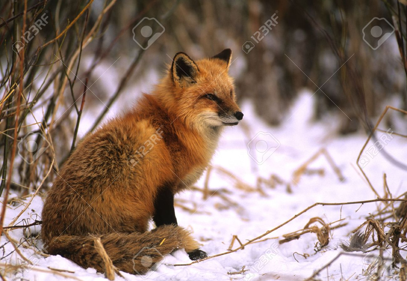 Red Fox in Winter - 8883640
