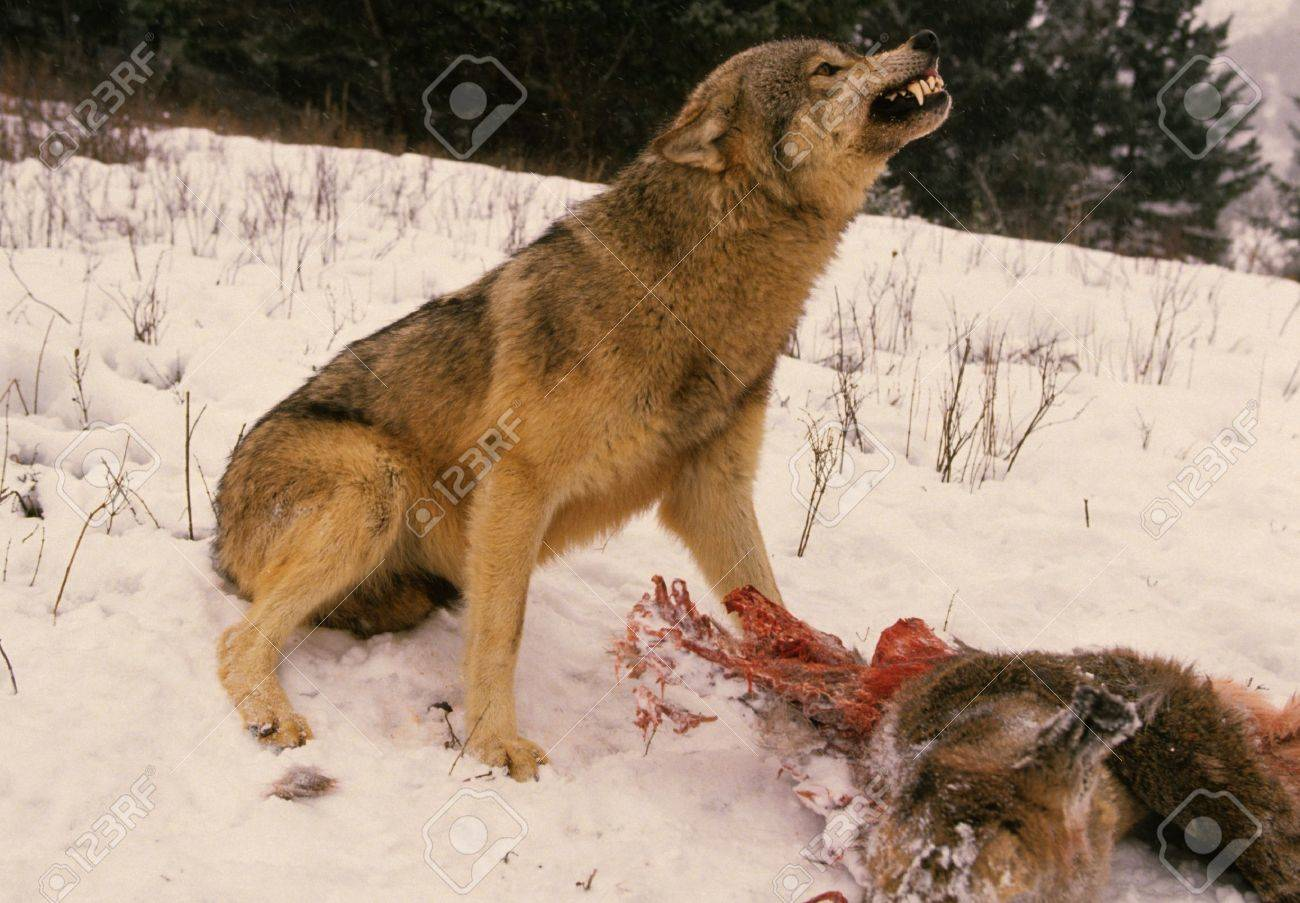 Wolf Saying Stay Away From My Deer - 8929631