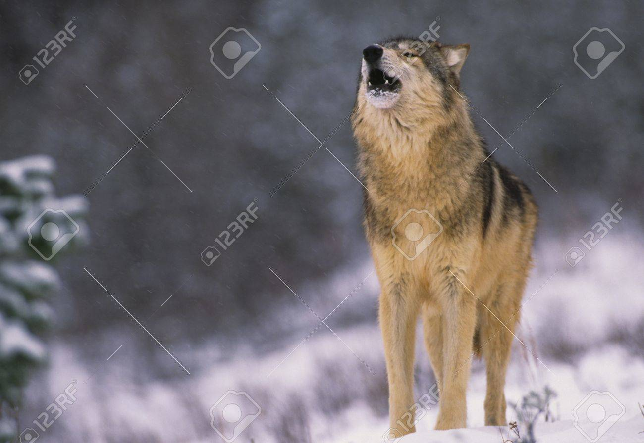 Wolf Howling in Snow - 8929629