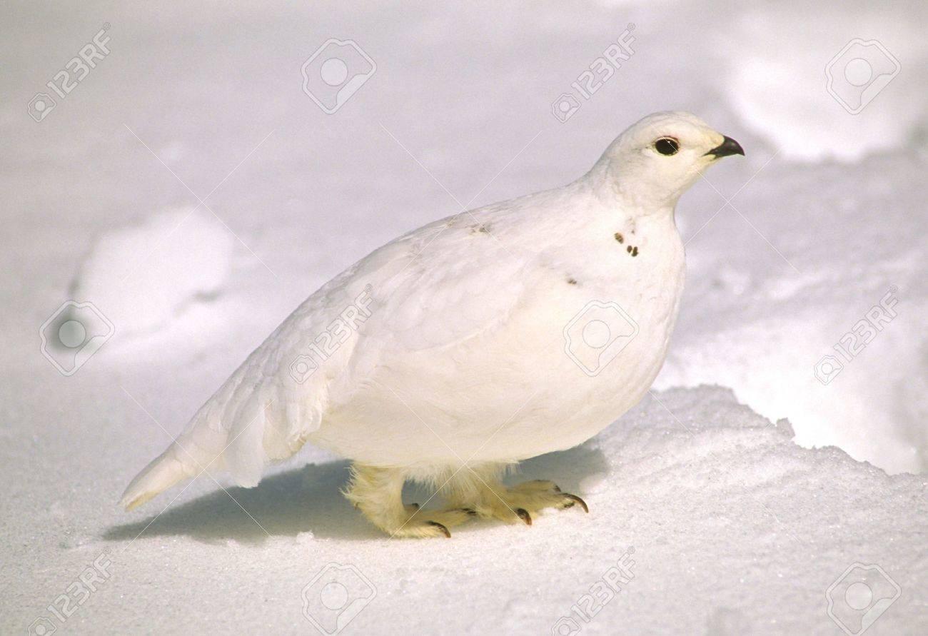 Ptarmigan in Winter - 8929657