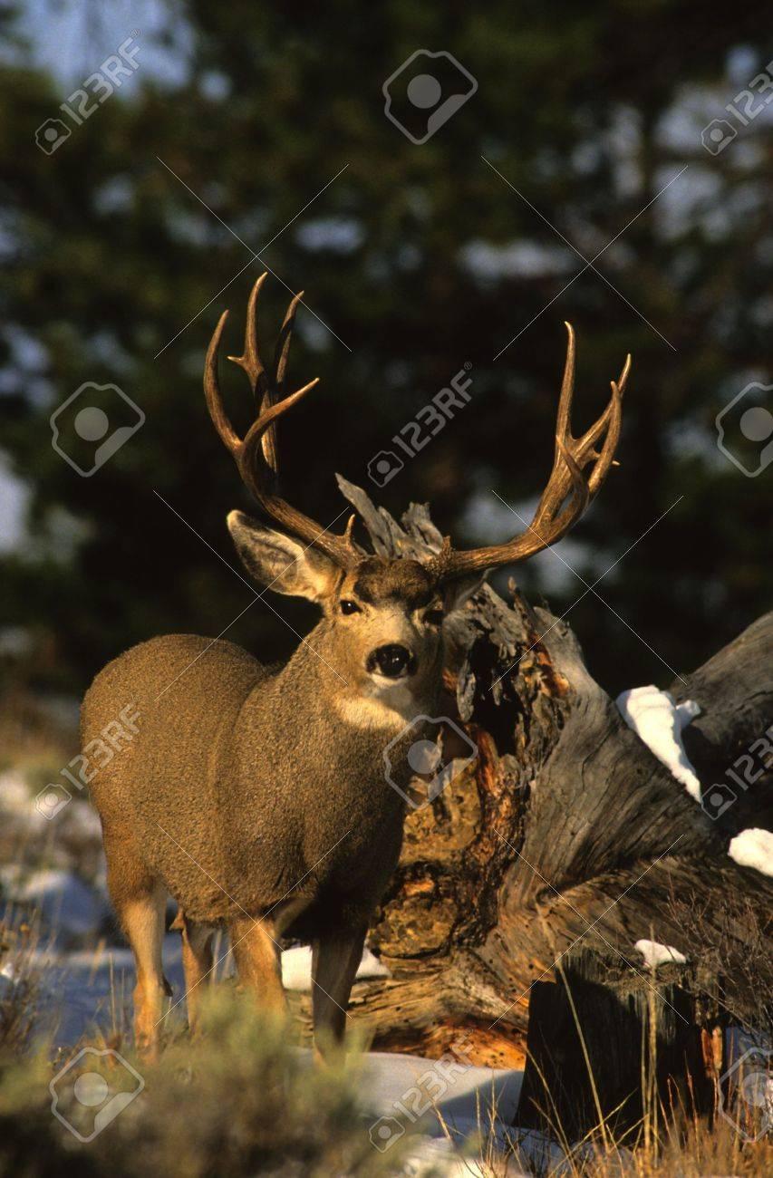 Nice Mule Deer Buck Stock Photo - 9030476
