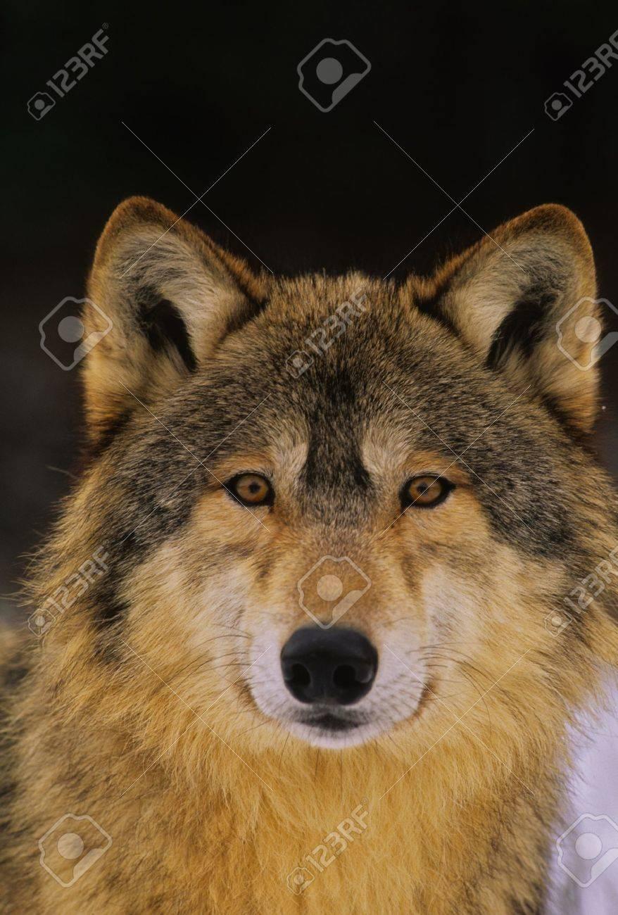 Wolf Portrait - 9287725