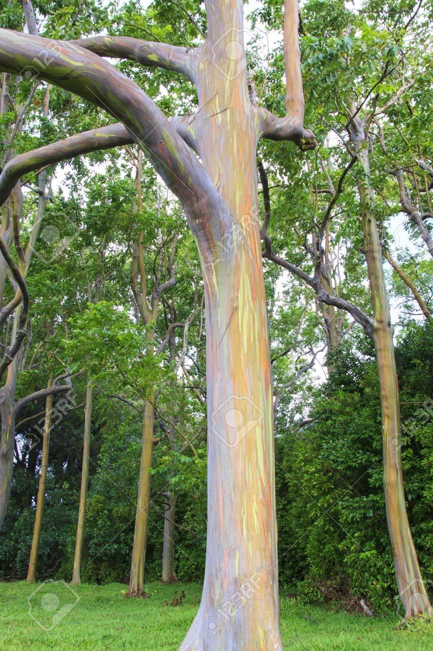 の 木 ユーカリ