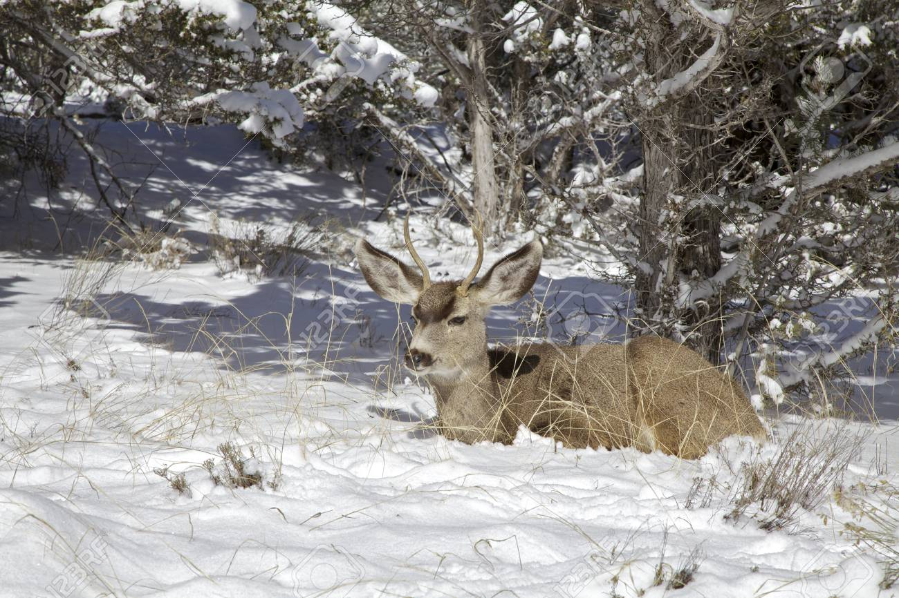 Mule Deer Buck Bedded In Snow Stock Photo Picture And Royalty Free Image Image 17806050
