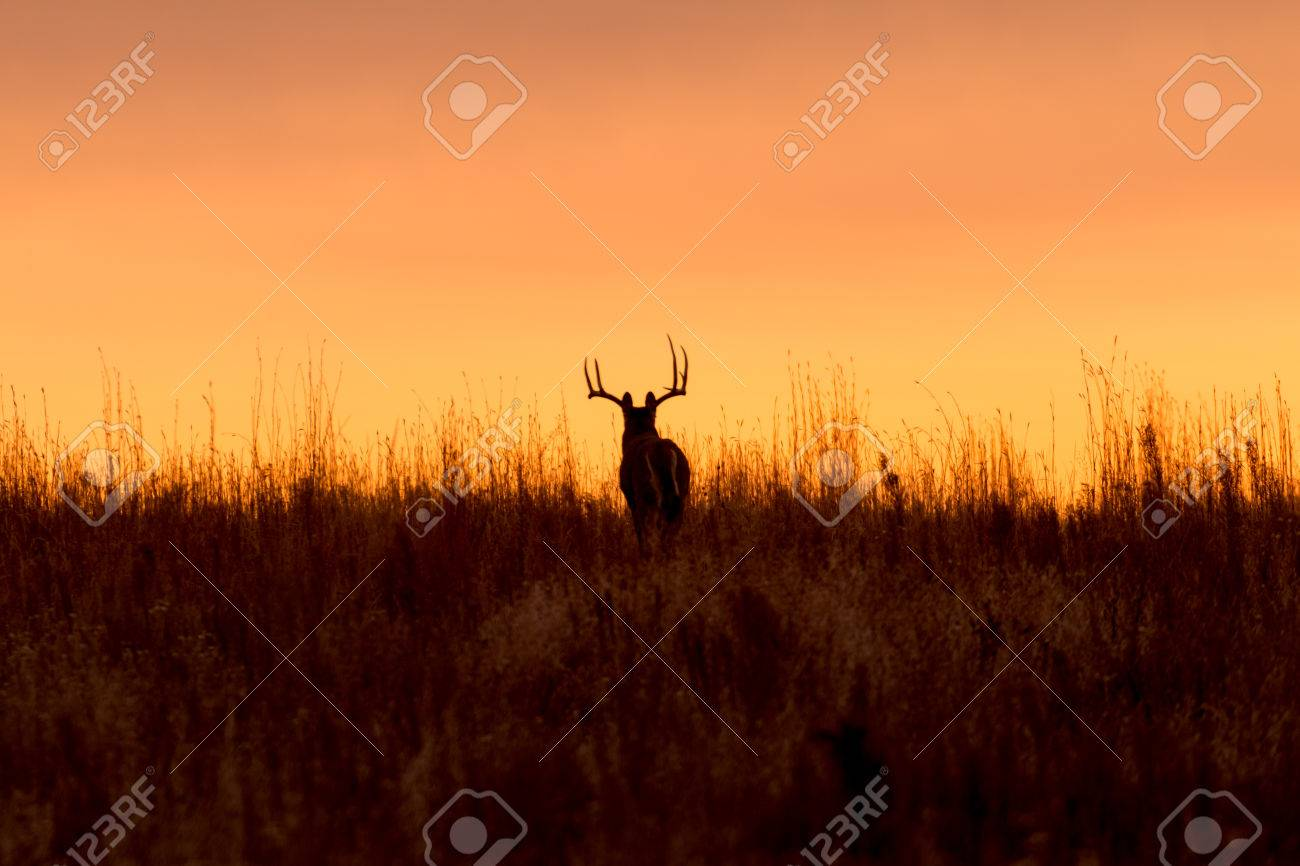 Whitetail Buck in the Sunrise - 34648220