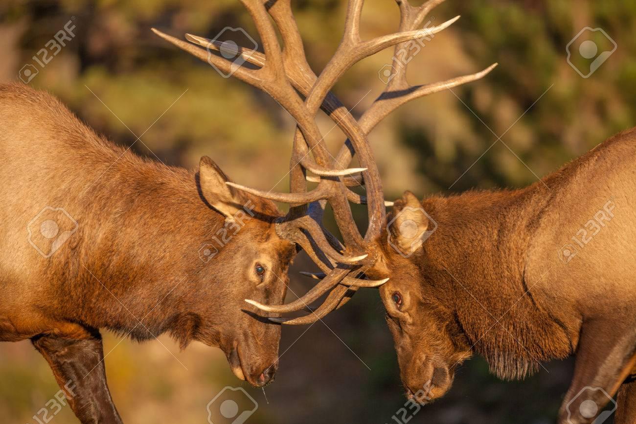 Bull Elk Fighting in Rut - 35177640