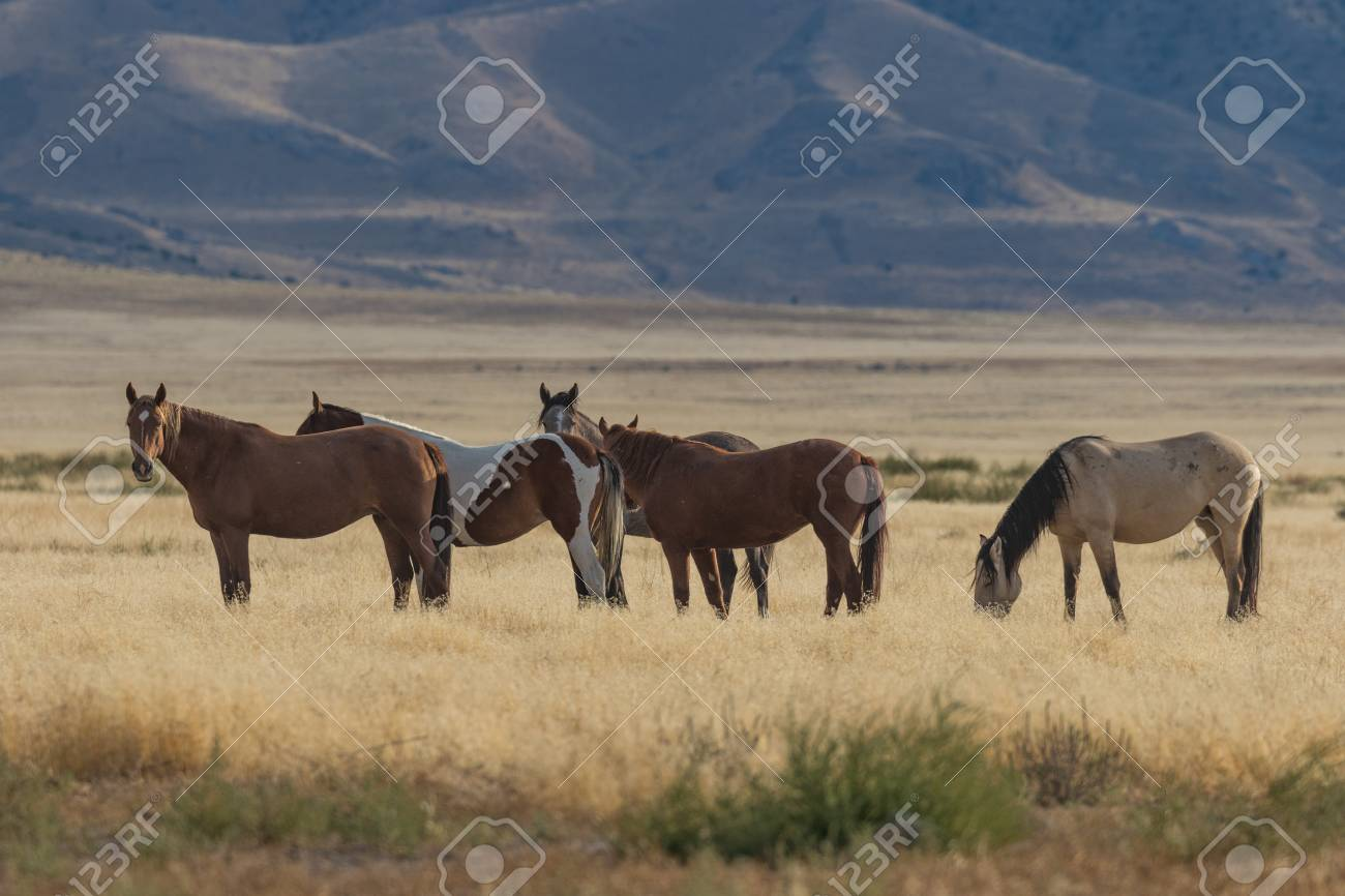 Wild Horses Mustangs Stock Photo Picture And Royalty Free Image Image 89536436