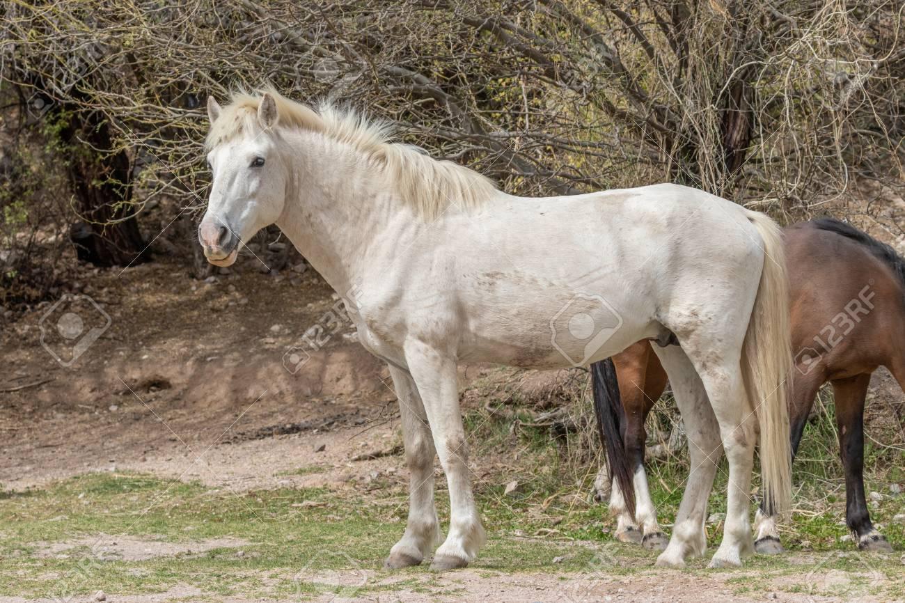 Beautiful White Wild Horse Stallion Stock Photo Picture And Royalty Free Image Image 99355369