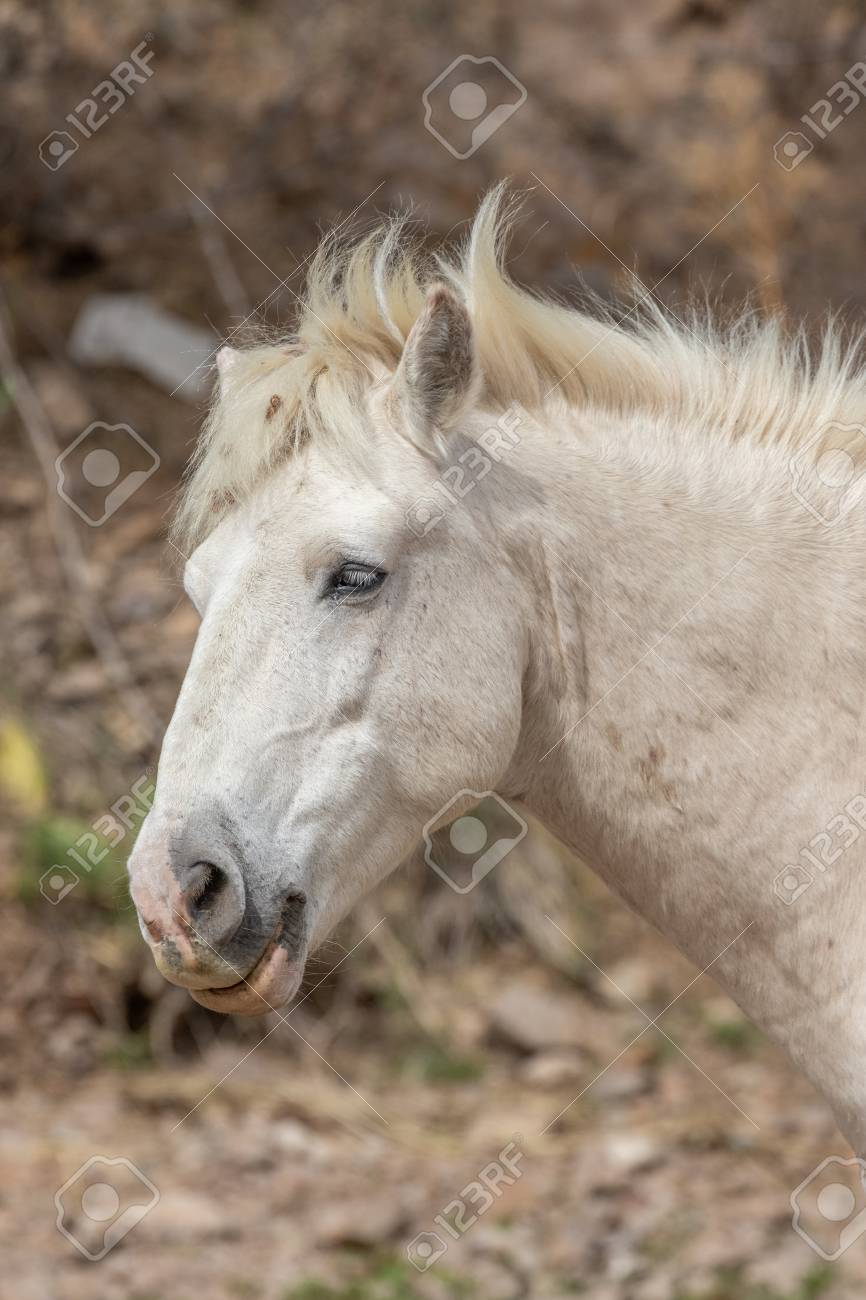 Beautiful White Wild Horse Stallion Stock Photo Picture And Royalty Free Image Image 99352652