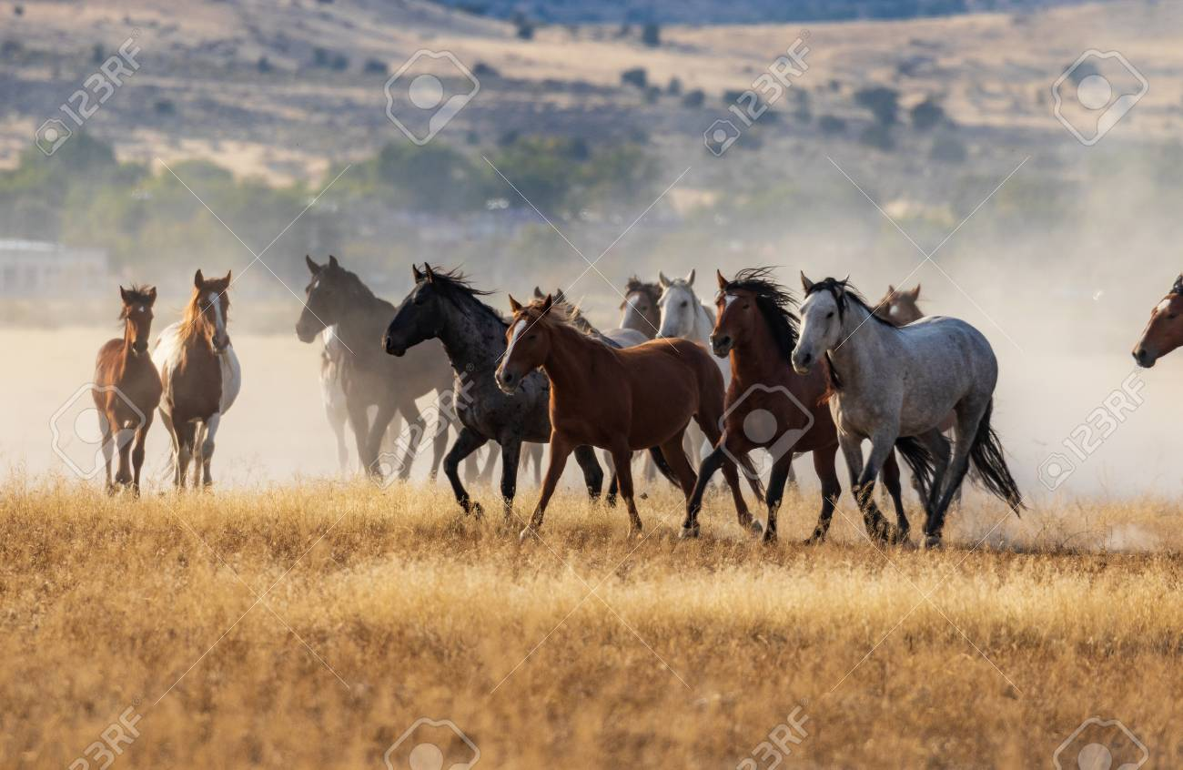 Herd Of Wild Horses Running Stock Photo Picture And Royalty Free Image Image 102954496