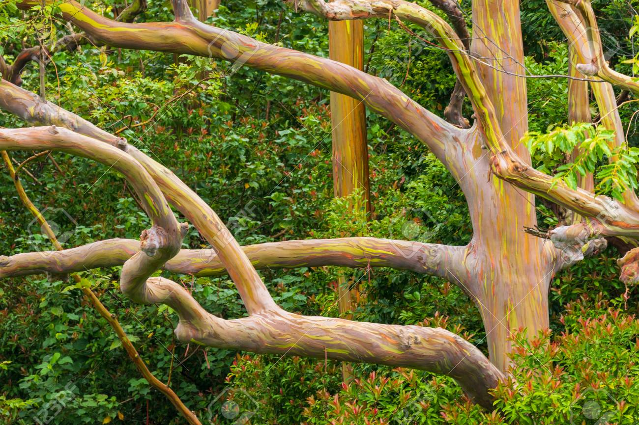 Rainbow Eucalyptus - 105483172
