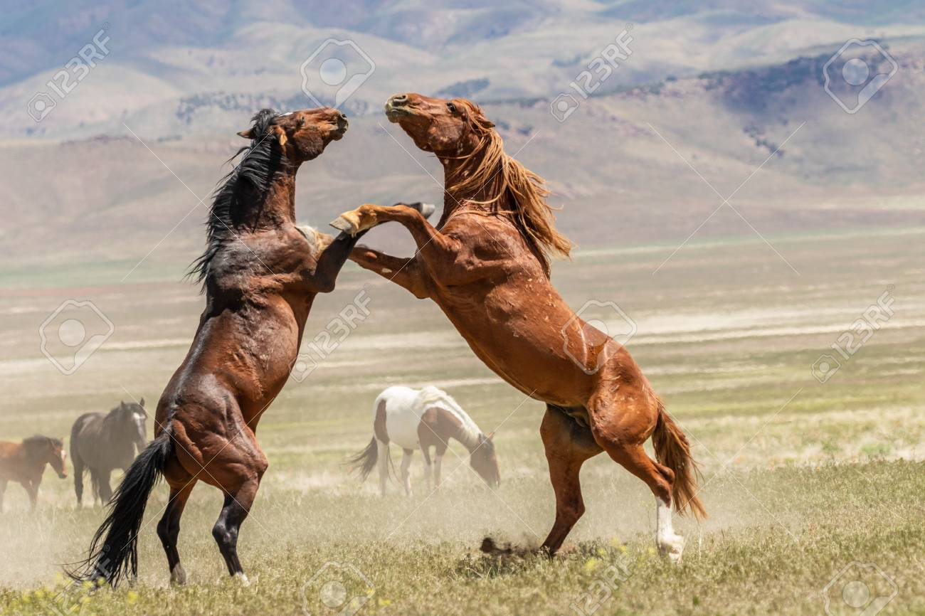 Wild Horse Stallions Fighting Stock Photo Picture And Royalty Free Image Image 104117912