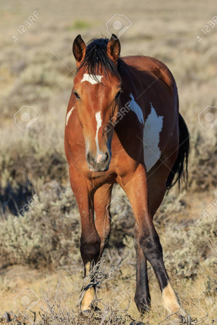 Beautiful Wild Horse Stock Photo Picture And Royalty Free Image Image 108366910