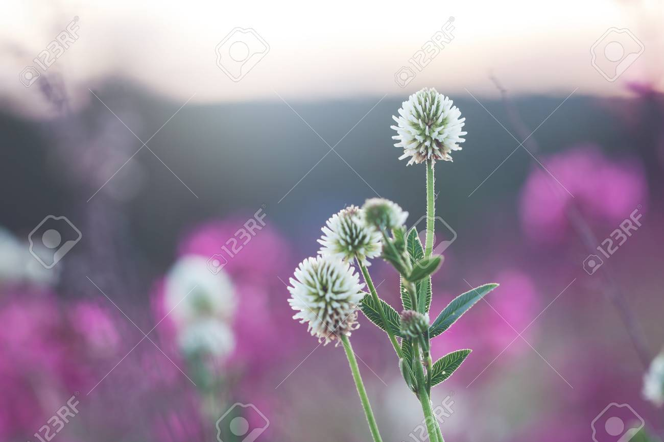 Wild Meadow Pink Clover Flower In Green Grass In Field In Natural