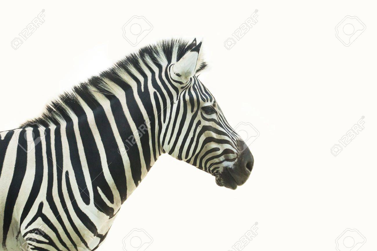 Headshot of Zebra,thailand Stock Photo - 17129150