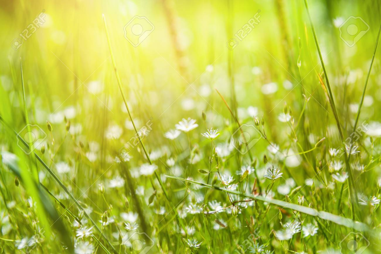 Green Grass And Little White Flowers On The Field Beautiful Stock