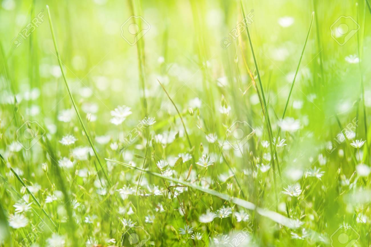 Immagini Stock Fiori Di Campo E Lerba Verde In Un Campo Estate