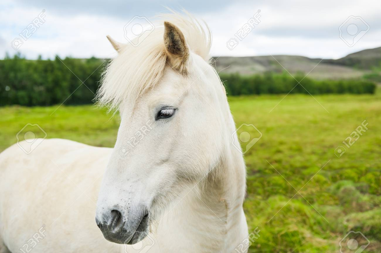 Beautiful White Horse On The Green Field In Iceland Summer Landscape Stock Photo Picture And Royalty Free Image Image 98402620