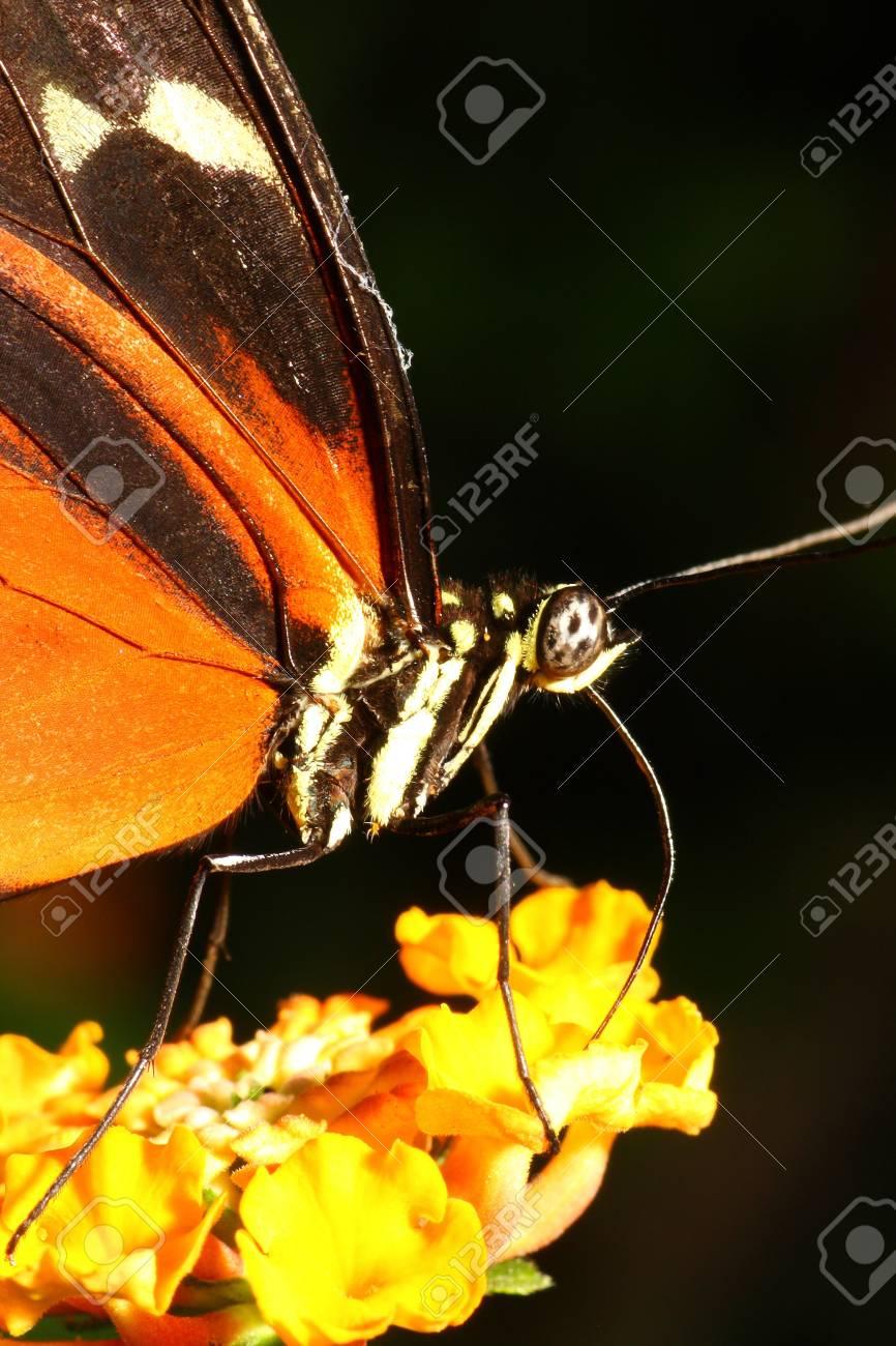 Tiger Butterfly, Danaus chrysippus Stock Photo - 13112084