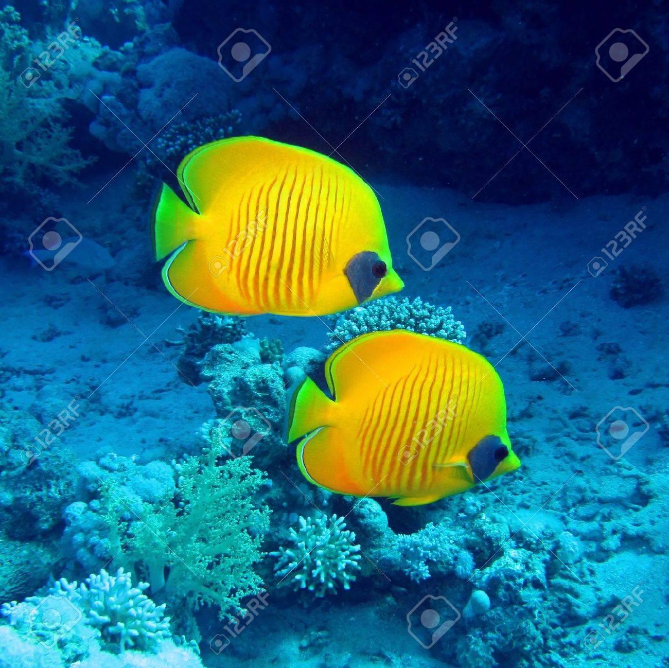 Masked butterfly fish, Chaetodon semilarvatus Stock Photo - 12559895