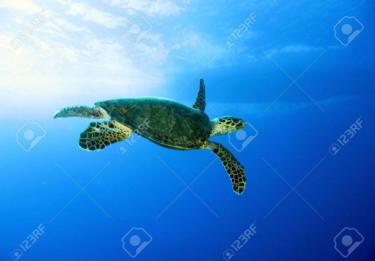 Green turtle, Chelonia mydas, Red Sea Stock Photo - 12527440