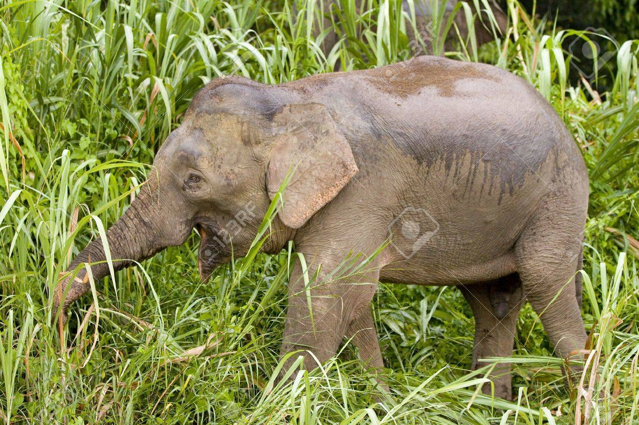 Borneo Pygmy Elephant, Elephas maximus borneensis, Malaysia Stock Photo - 14715500