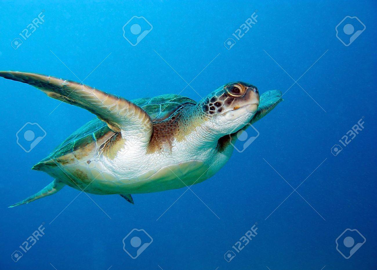 turtle stock photos royalty free turtle images and pictures