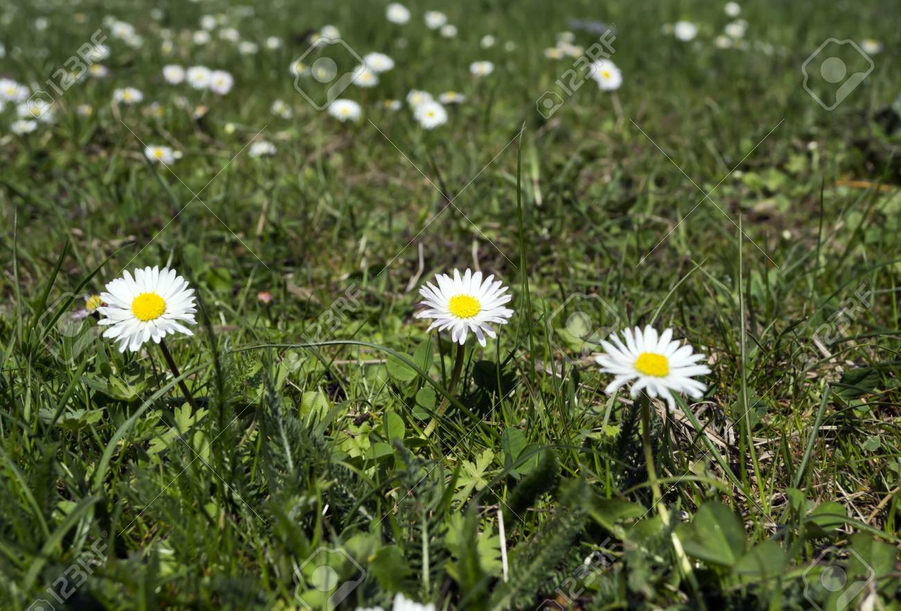 Photo Of White Daisies On Lawn In Spring Stock Photo Picture And