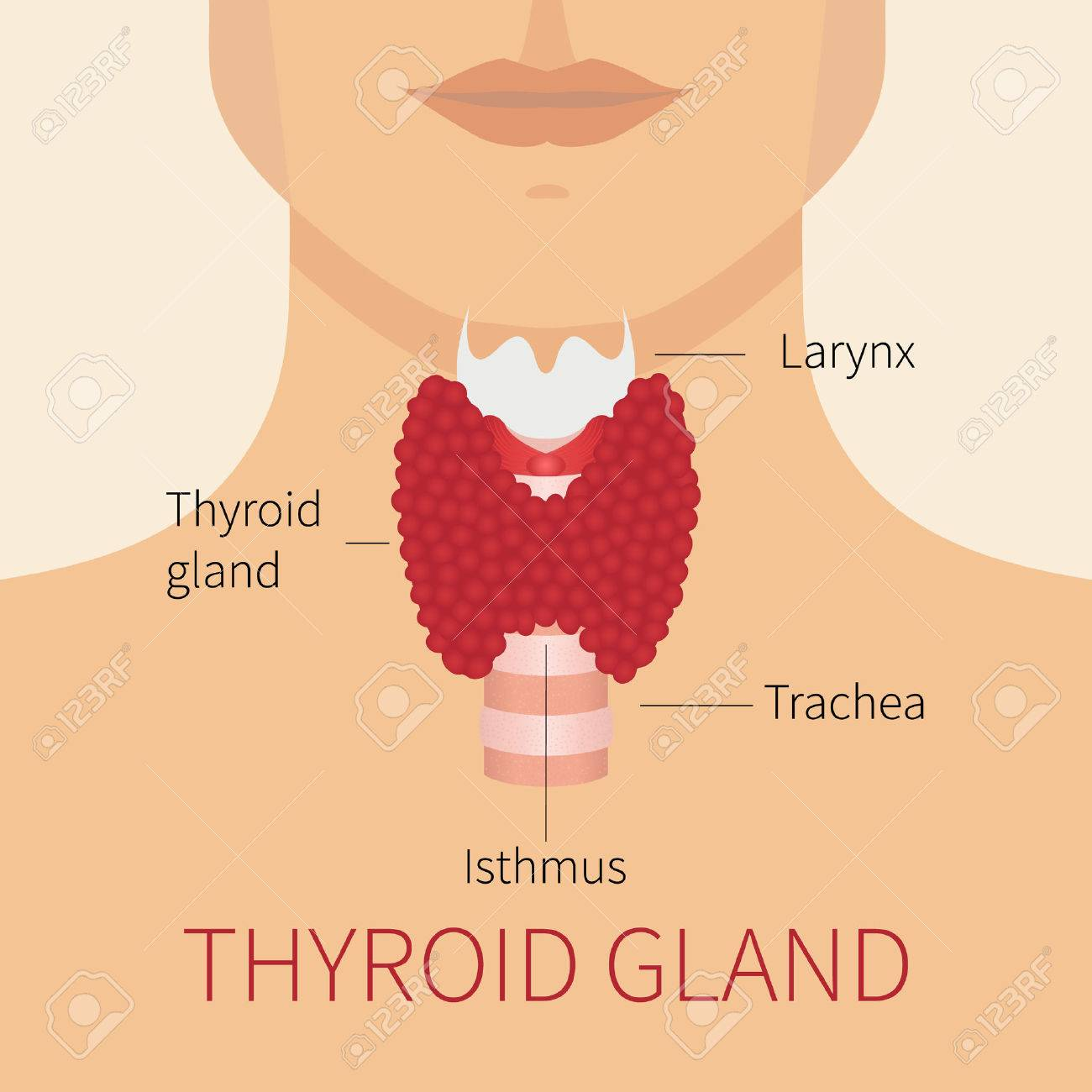 Ilustración Vectorial De La Glándula Tiroides. Glándula Tiroides Y ...