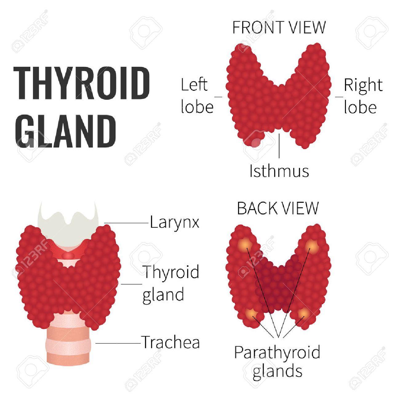 Glándula Tiroides Vista Frontal Y Posterior Sobre Fondo Blanco ...