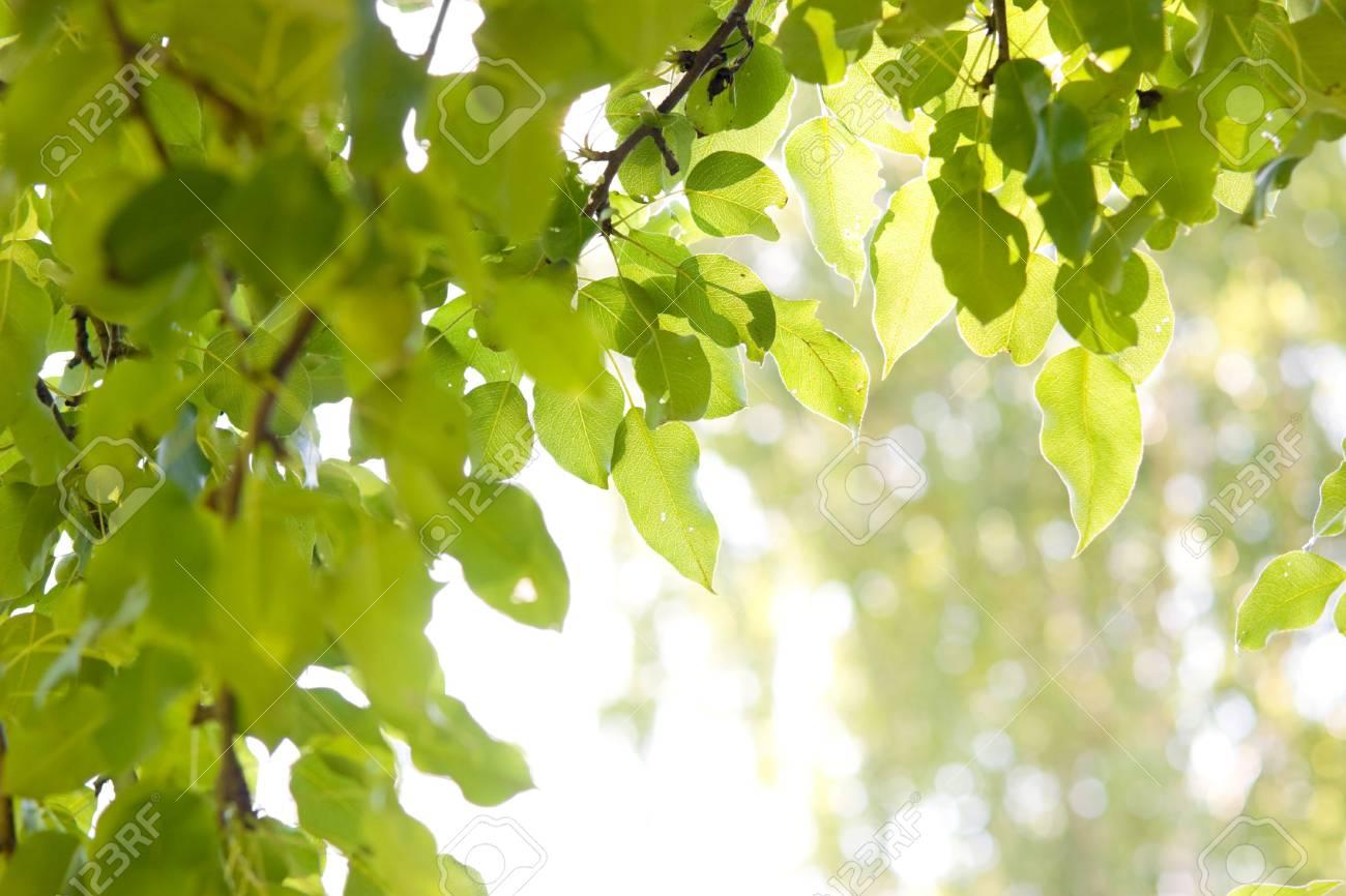 Sun shining through pear-tree leafs Stock Photo - 3297914