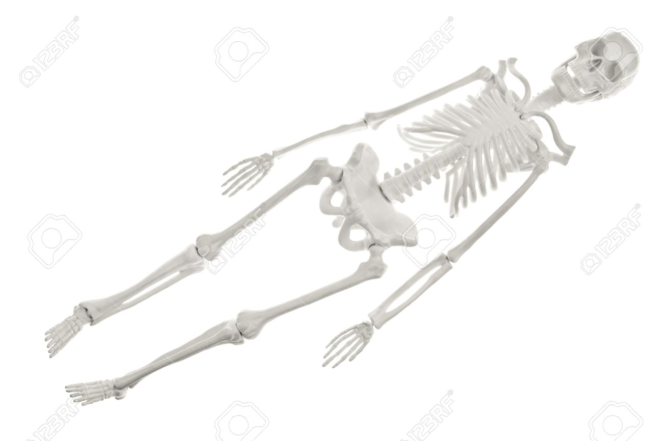 plastic human skeleton model on white background stock photo, Skeleton