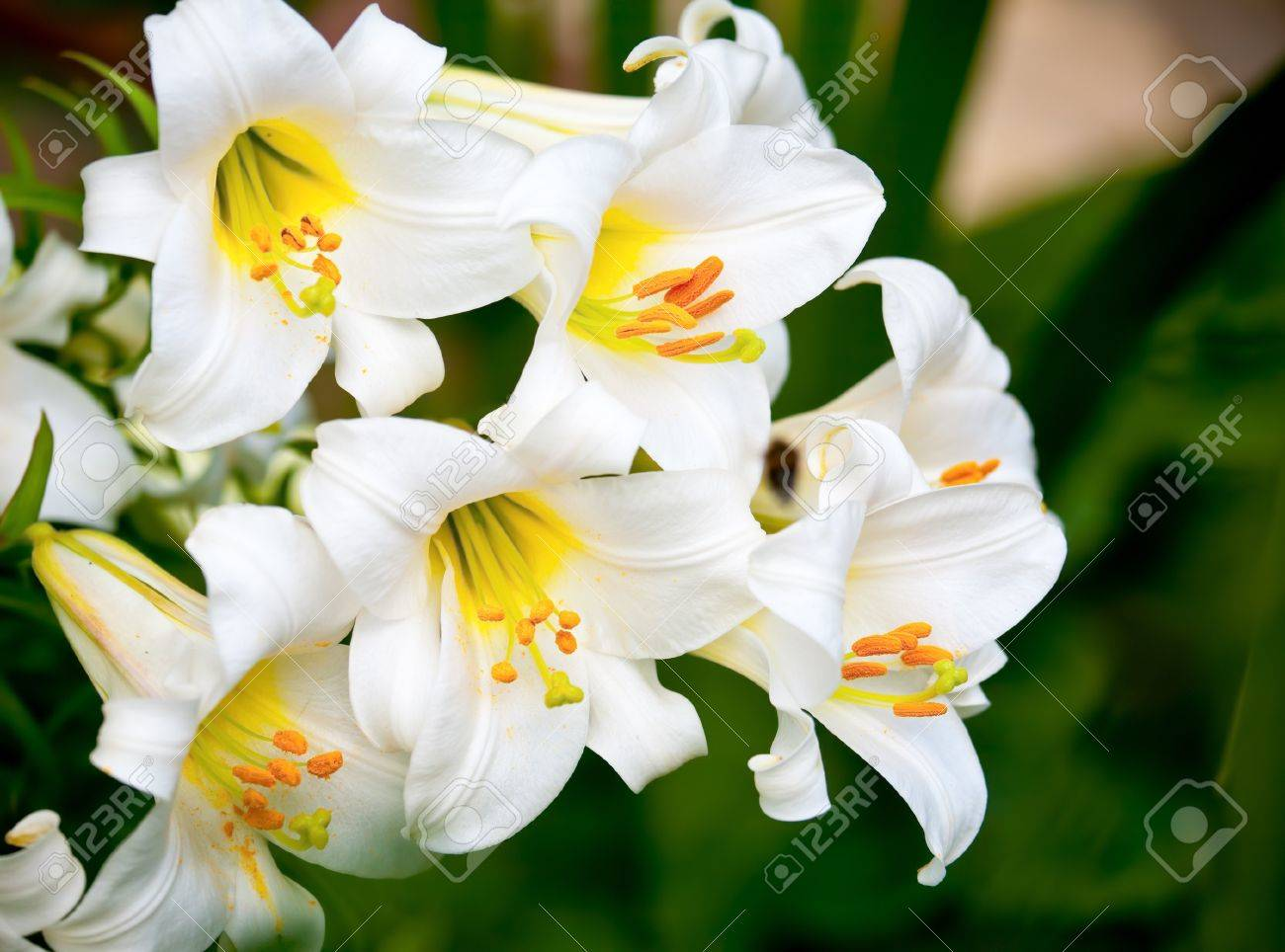 White easter lily flowers in a garden shallow dof stock photo stock photo white easter lily flowers in a garden shallow dof izmirmasajfo