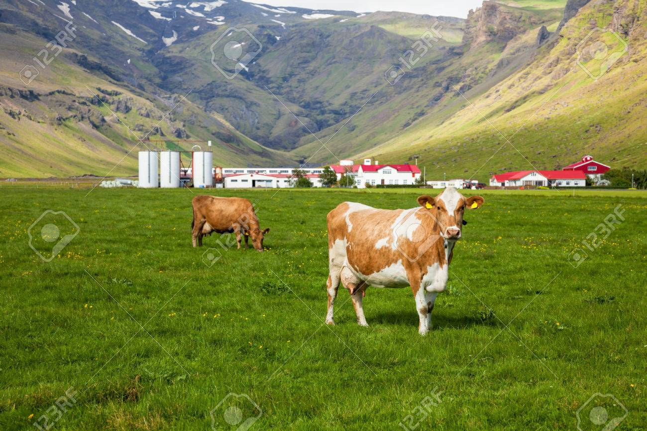 Brown Holstein Cow Grazing At Pasture In Iceland With Dairy Farm Background Stock Photo
