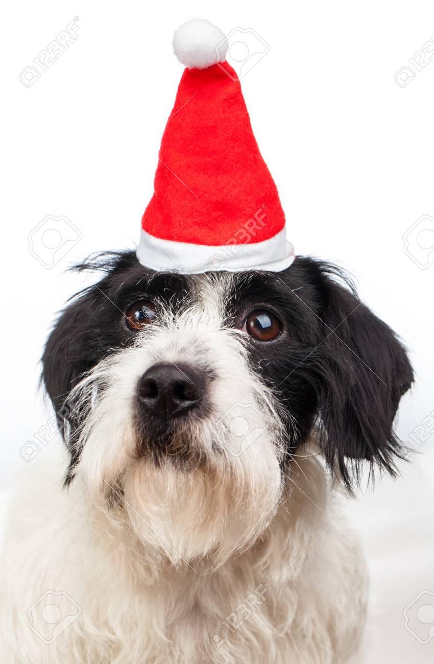 Mignon Chien Noir Et Blanc Russell Terrier Avec Le Père Noël Ou Un Chapeau Rouge De Noël Sur Fond Blanc 2018 Image Du Nouvel An Chinois Année Du