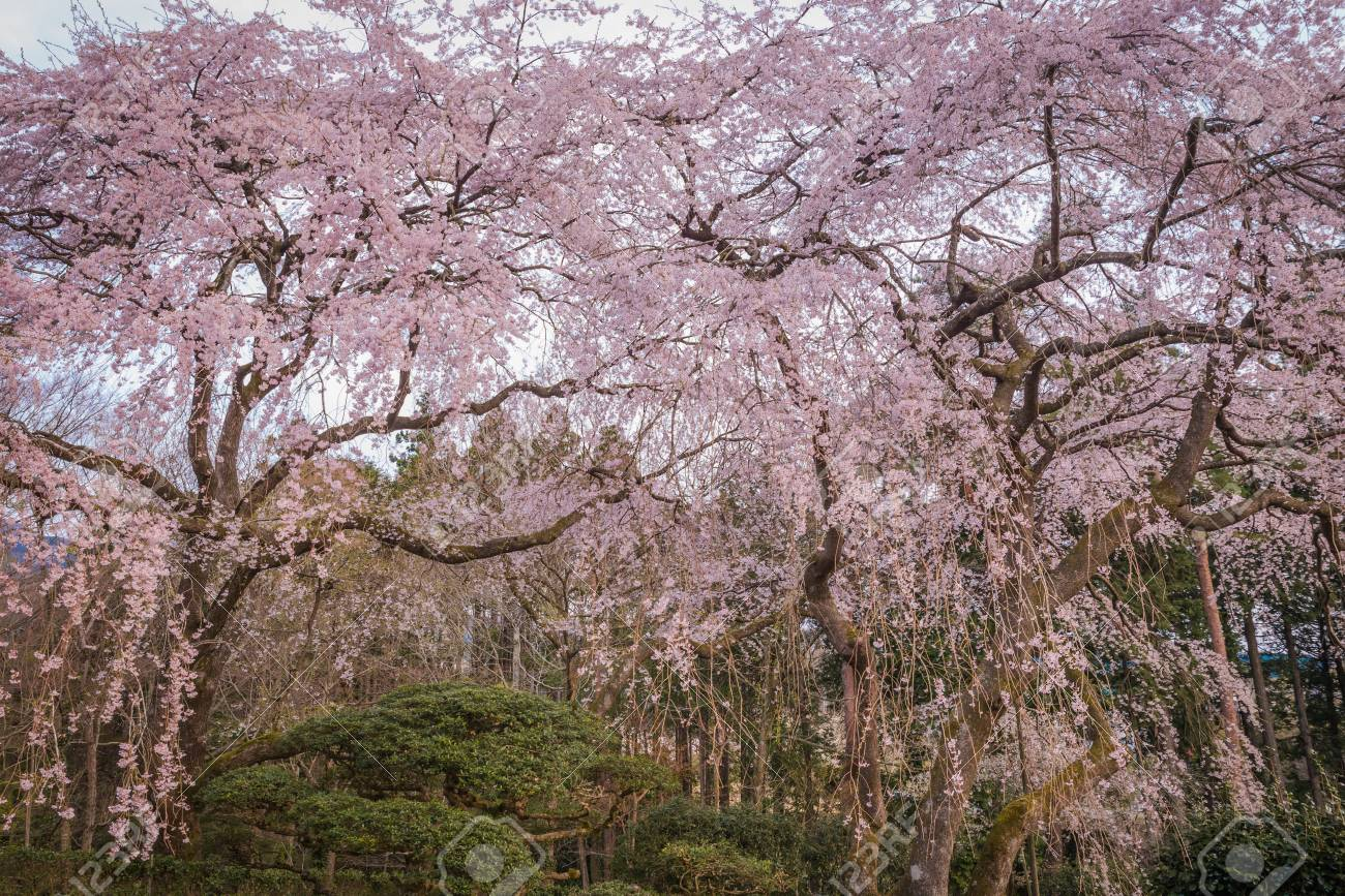 Large Weeping Cherry Tree In Spring Japan Stock Photo Picture And