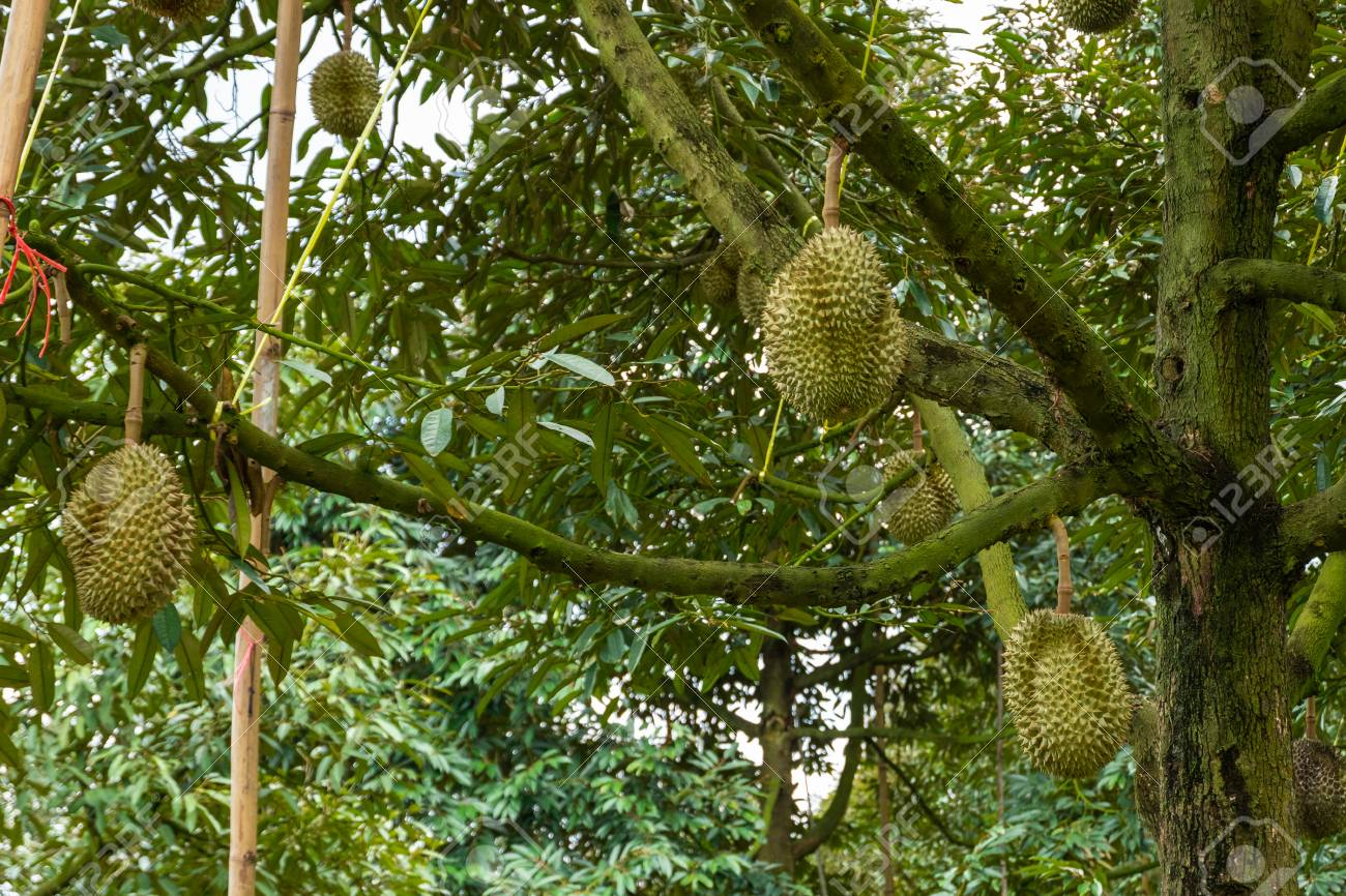 Durian tree, Fresh durian fruit on tree