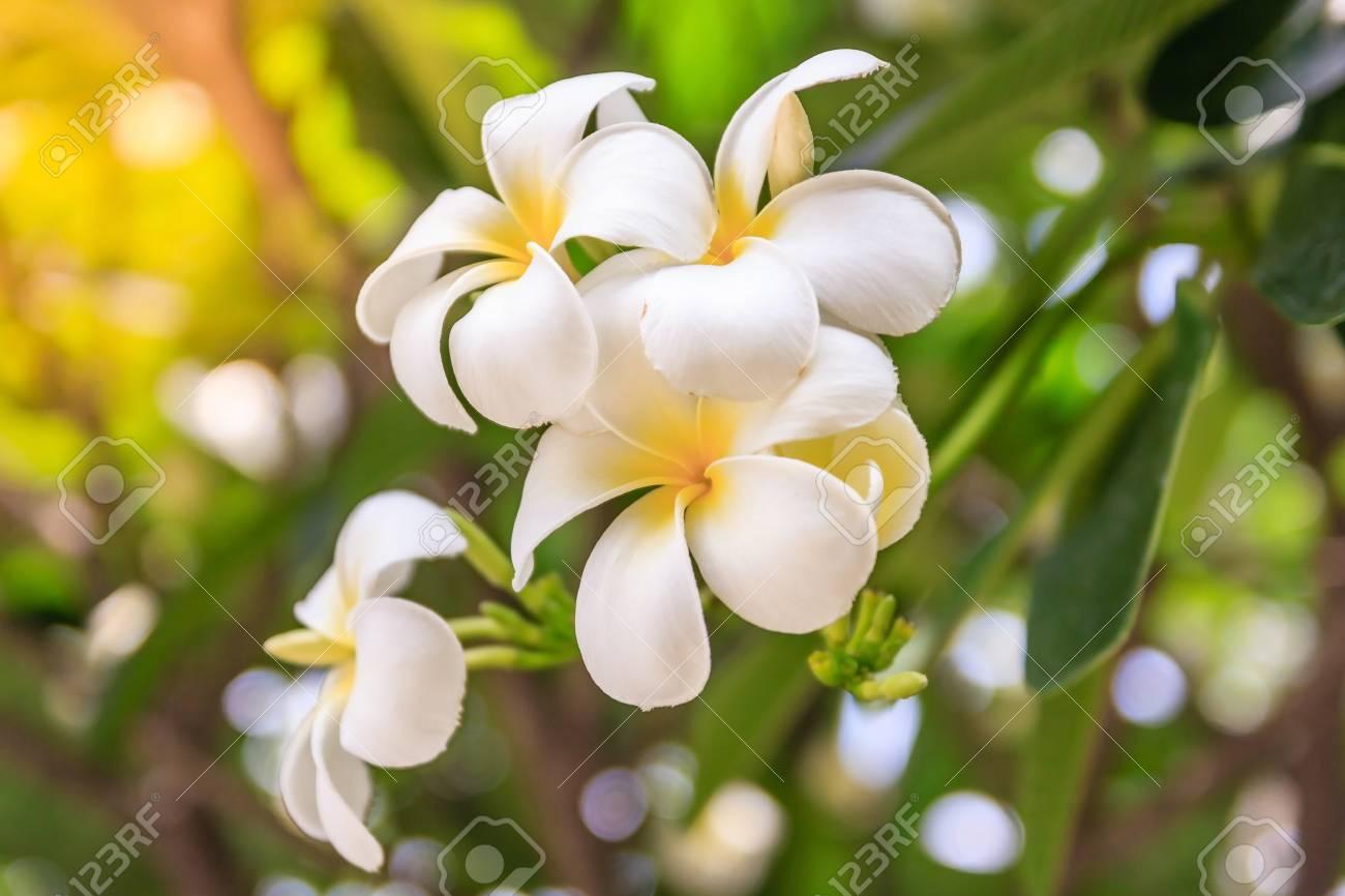 Plumeria flowers on bokeh background beautiful flowers in the plumeria flowers on bokeh background beautiful flowers in the garden white flower asian izmirmasajfo