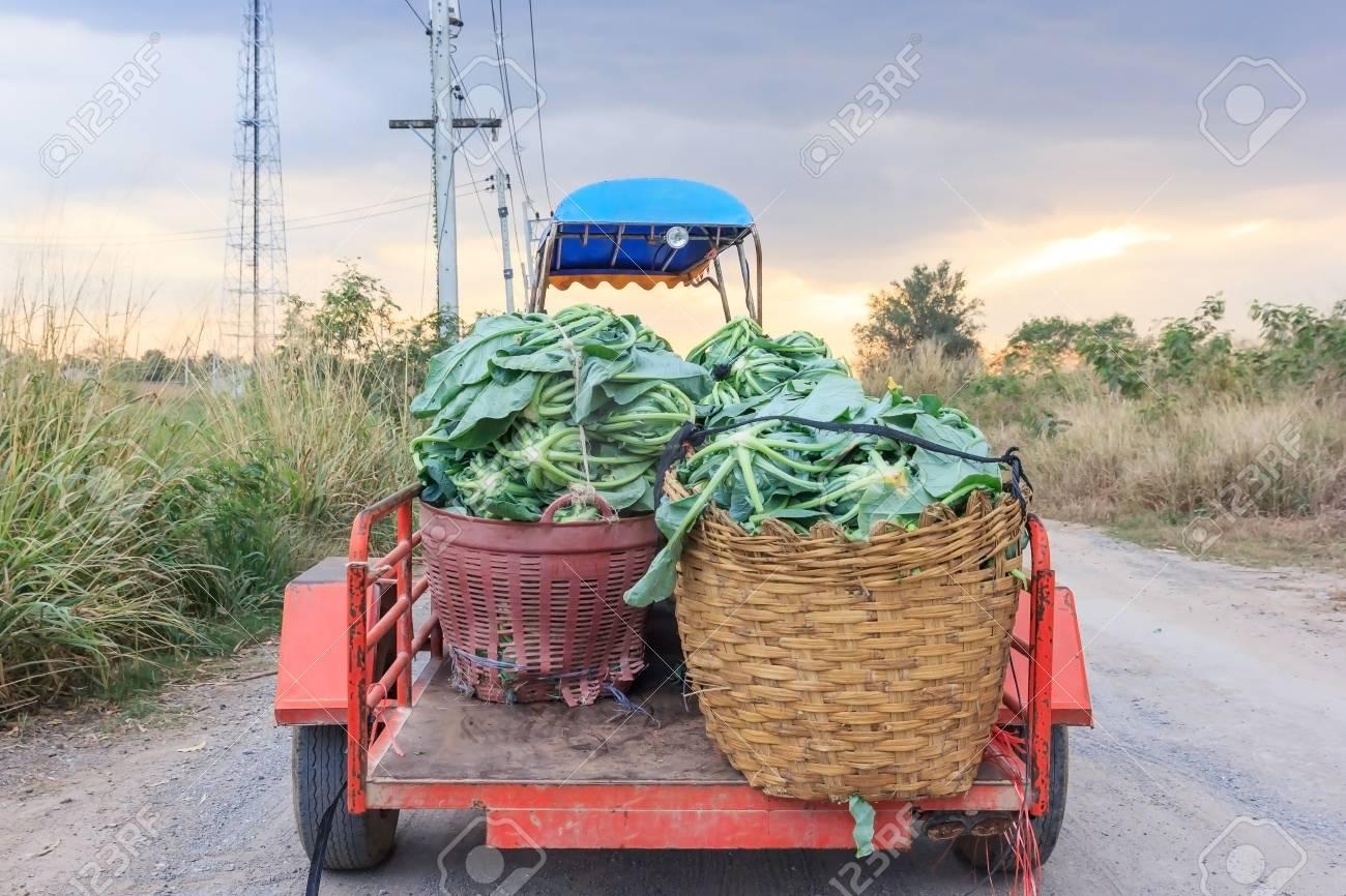 farm tractor(E-taen vehicle) pick up cauliflower vegetables in the green organic farm, Thailand - 93254930