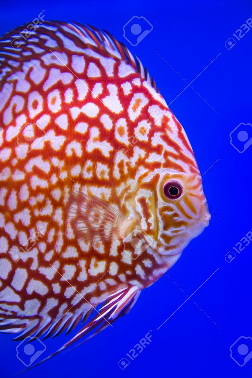 Discus Fish,Checkorboard Turquoise Stock Photo, Picture And Royalty ...