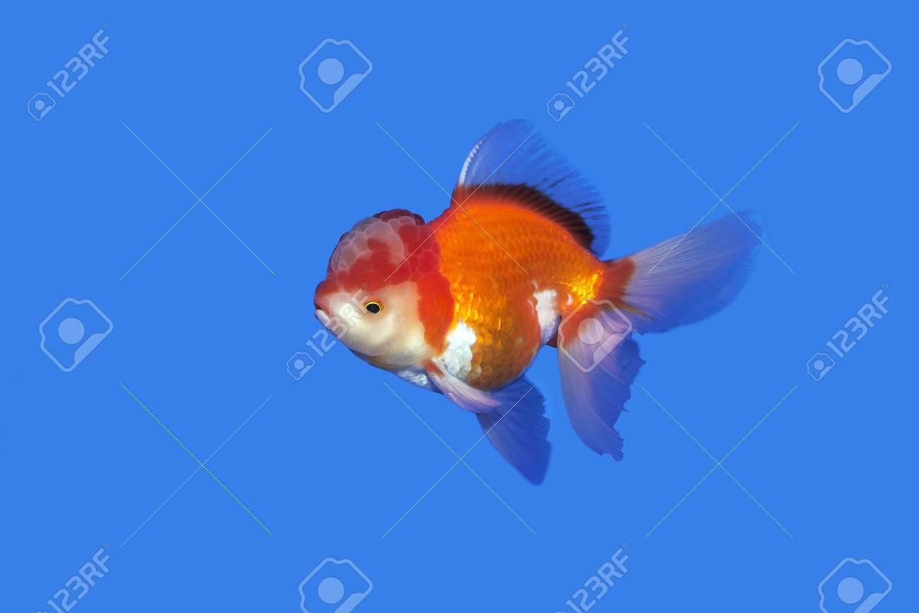 Goldfish red-gold oranda on blue background Thailand