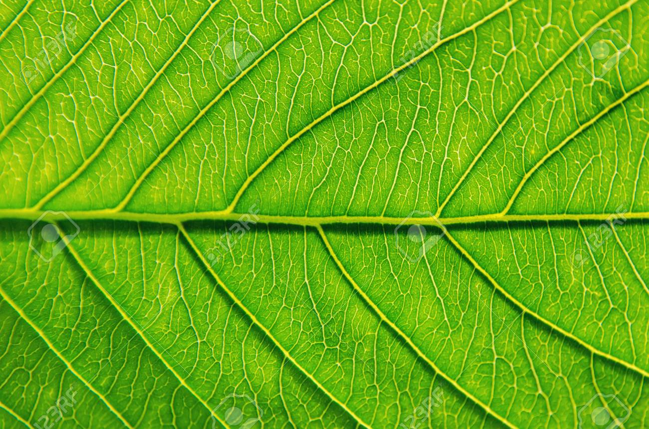 Macro Of Green Leaves Texture And Structure Of Leaf Fiber Background