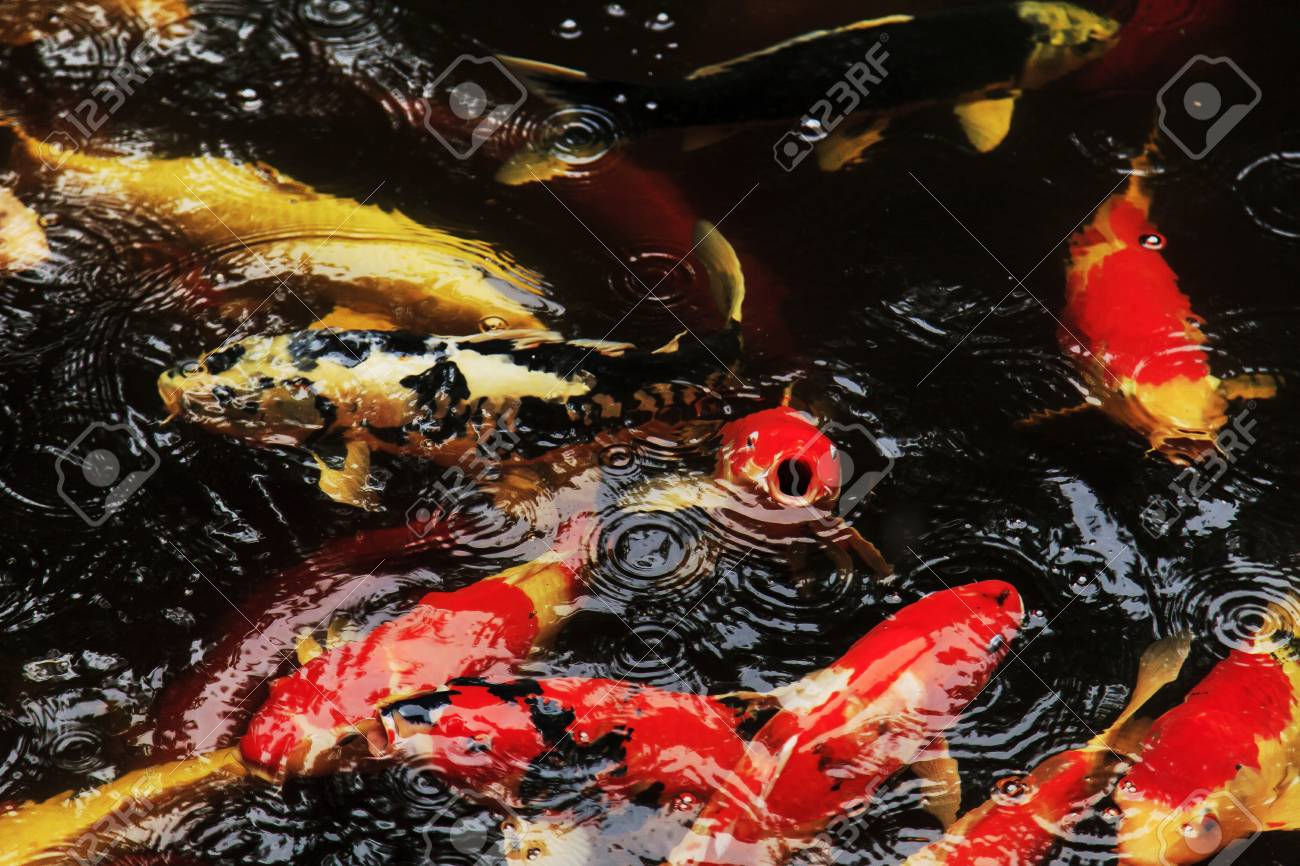 Koi fishes feeding in a pond Stock Photo - 20276637