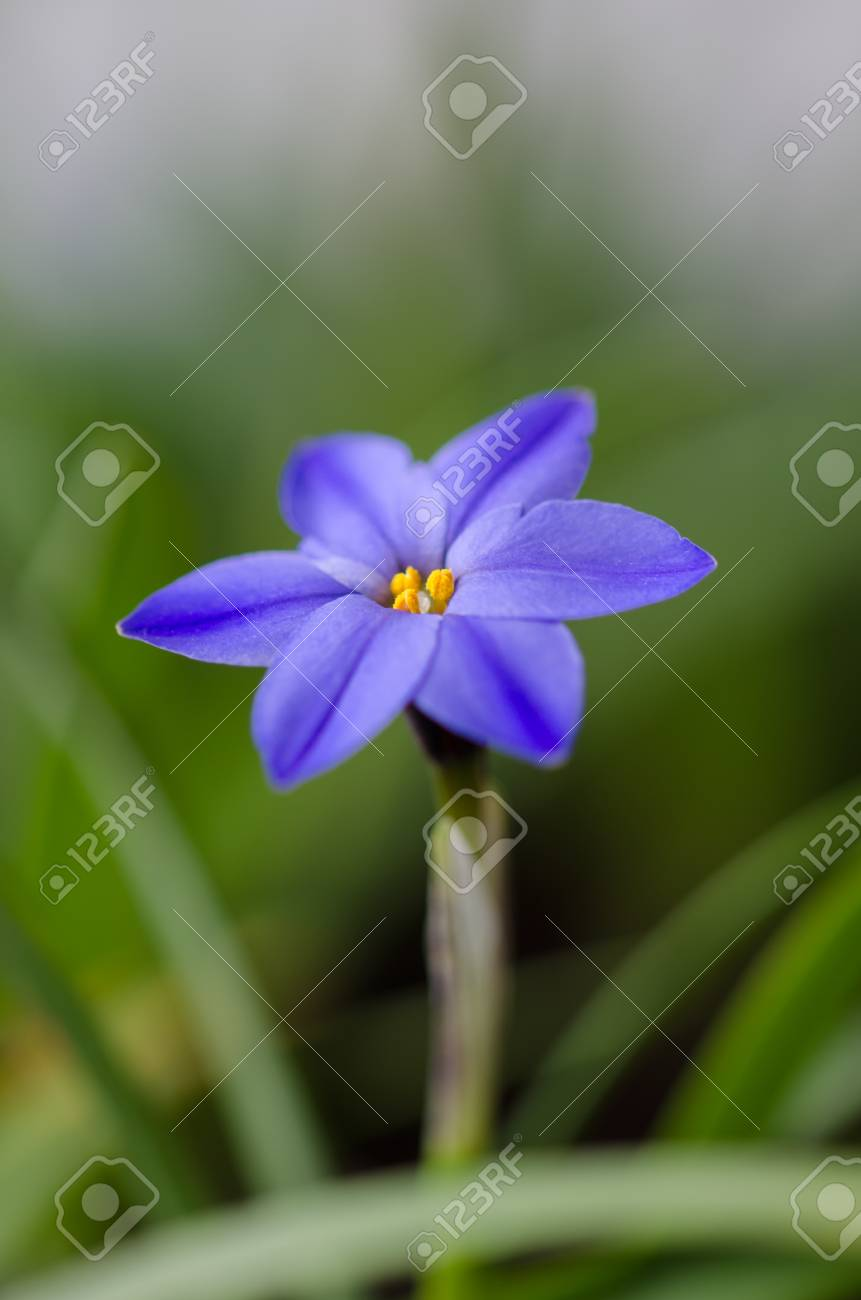 Spring Star Flower Is A Blue Bulbous Flower That Blooms In The