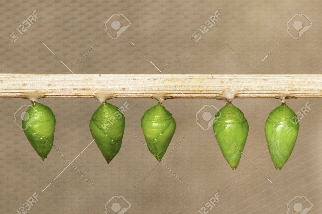 Butterfly pupa hanging on a stick, ready to hatch Stock Photo - 13005207